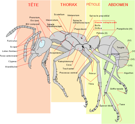 Détail d'une fourmis