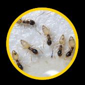 Extermination de fourmi fantôme
