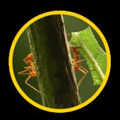 Extermination fourmi coupe feuille