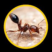 Extermination fourmis de feu rouge