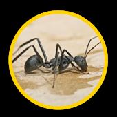 Extermination de fourmi charpentière