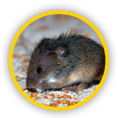 Un rat et une souris