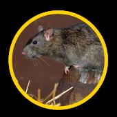 Service d'extermination de rats