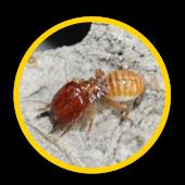 Exterminer les termites en Ile de France
