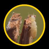 Entreprise extermination de termites en Ile de France