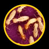 Des termites en groupe
